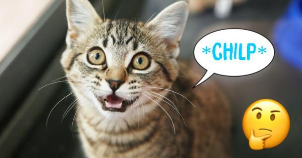 """Warum einige Katzen """"ZWITSCHERN"""" (und andere nicht)"""