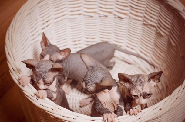 Katzen ohne Haare züchten - darf der Mensch das?