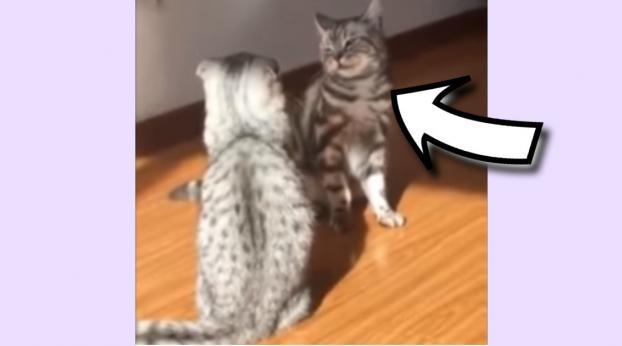 Seht euch nur den witzigen Judogriff an, mit dem diese Katze ihren Gegner zu Boden streckt