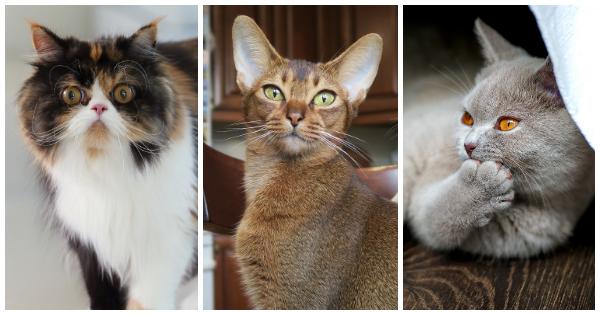 Findet eure ideale Katzenrasse
