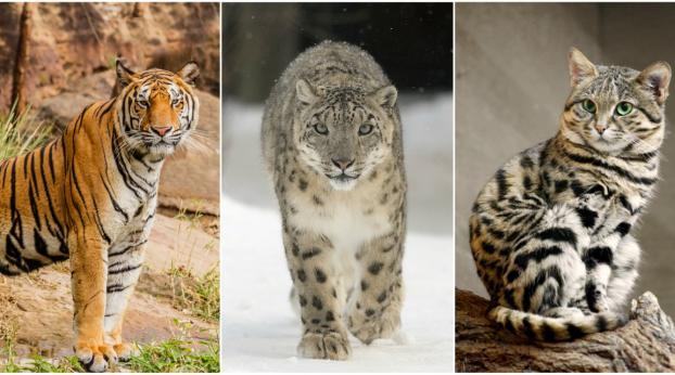 Diese Wildkatzen sind GEFÄHRDET oder vom AUSSTERBEN bedroht