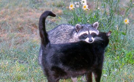 Video: Der Waschbär, der sich mit einer Katze anfreunden wollte...