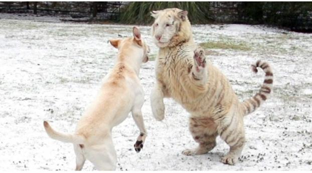 Unerwartet: ein Hund und ein Tiger im Schnee