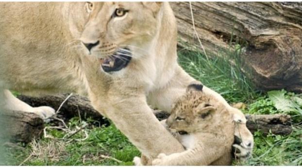 Was dieser Zoo mit seinen Löwenbabys machte, wird euch einen kalten Schauer über den Rücken laufe...