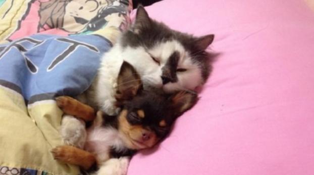 Diese Fellnase hat einen Wurf Chihuahuas adoptiert und ist seitdem ihr Papa