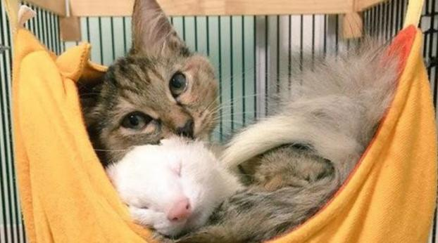 Dieses verlassene Kätzchen wurde von einer Frettchenfamilie adoptiert