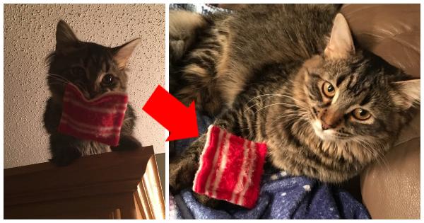 """Diese Maine Coon Katze geht nirgendwohin ohne ihr """"Kuschelkissen"""" – seit sie ganz klein ist!"""